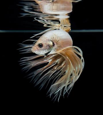 Le poisson dans les rêves
